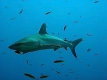 水下的鲨鱼 免版税库存图片