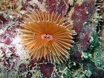 水下的Crinoid 免版税库存图片