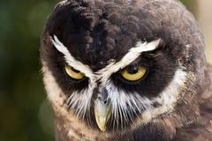 戴了眼镜的猫头鹰 库存照片