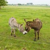 驴亲吻 免版税图库摄影