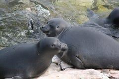 贝加尔湖哺乳动物密封 免版税库存照片