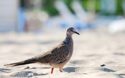 巴厘语鸽子 库存照片