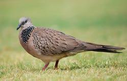 巴厘语鸽子 库存图片
