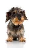头发粗糙的达克斯猎犬 免版税库存图片