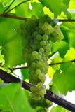 水多束的葡萄 库存照片