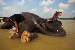 浴大象获得 免版税库存照片