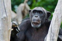 猴子在原野 免版税库存照片