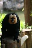 猴子新加坡动物园 免版税库存图片