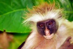 猴子桑给巴尔 库存图片