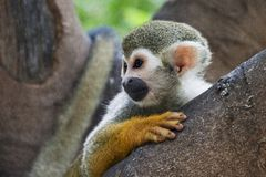 猴子灰鼠 库存图片