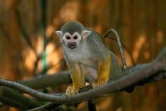 猴子灰鼠 库存照片
