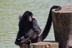 猴子蜘蛛 库存图片