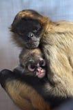猴子蜘蛛 库存照片