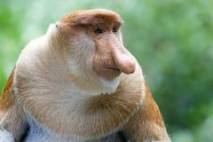 猴子象鼻 免版税库存图片