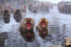 猴子雪 免版税库存图片