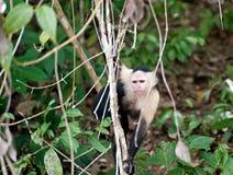 猴子年轻人 图库摄影