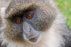 猴子sykes 库存照片