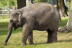 婴孩亚洲大象走 免版税库存照片