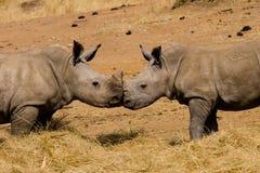 婴孩亲吻犀牛 库存照片