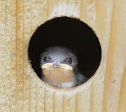 婴孩双色的燕子tachycineta结构树 库存图片