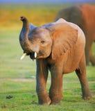 婴孩大象 库存照片