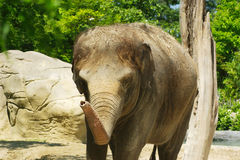 婴孩大象 免版税图库摄影