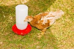 婴孩小鸡 免版税库存图片