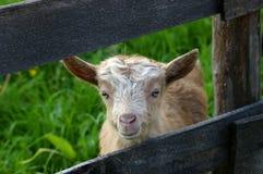 婴孩滑稽的山羊 免版税库存图片