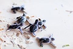 婴孩绿海龟 免版税库存图片
