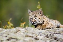 婴孩美洲野猫 库存照片