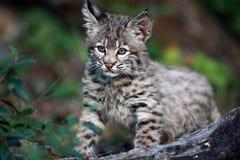 婴孩美洲野猫 免版税库存照片