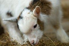 婴孩逗人喜爱的山羊春天 免版税库存照片