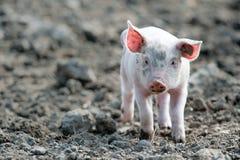 婴孩逗人喜爱的猪 库存图片