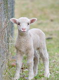 婴孩逗人喜爱的羊羔 库存照片