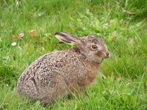 婴孩野兔 图库摄影