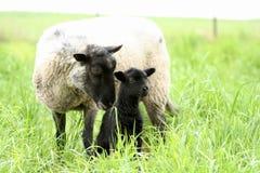 婴孩黑色其母亲绵羊 免版税库存照片