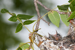 婴孩巴尔的摩金莺 免版税库存照片