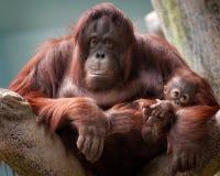婴孩bornean母亲猩猩 图库摄影