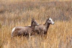 更小的大角野绵羊 免版税库存照片
