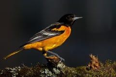 巴尔的摩galbula黄疸金莺类 免版税库存照片