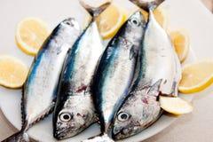 水平的美丽的地中海鲭鱼 免版税图库摄影