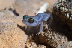 洞接近的古巴角钱青蛙一估量 库存照片