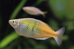 水族馆女性rainbowfish 库存照片