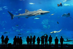 水族馆女用披巾冲绳岛发出光线鲨鱼&# 免版税图库摄影