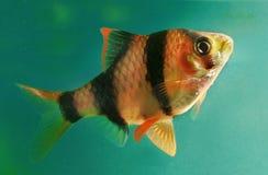 水族馆鱼Capoeta Tetrazona 图库摄影