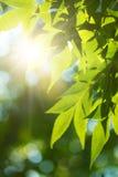 晴朗日绿色leafe的槭树 免版税库存图片