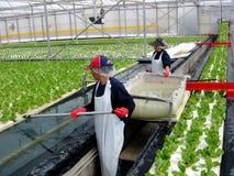 水栽法 免版税库存图片