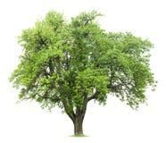 洋梨树 免版税库存照片