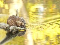 水汇率,麝香鼠 库存图片
