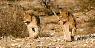 崽狮子四处寻觅 免版税图库摄影